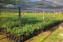 Durian-farm