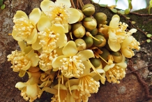 Durian-flowers