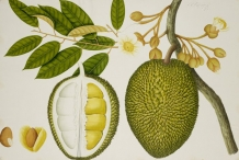 Durian-plant-illustration