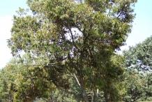Durian-tree