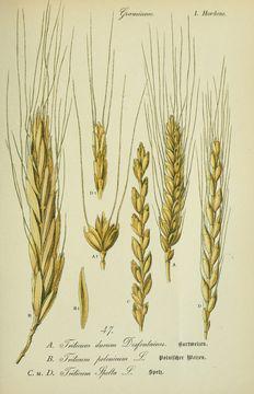 Plant-Illustration-of-Durum