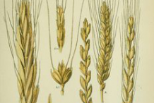 Plant-Illustration-of-Durum