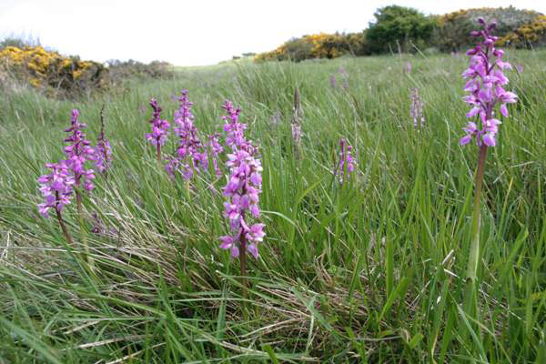 Early-purple-orchid-Plant-growing-wild