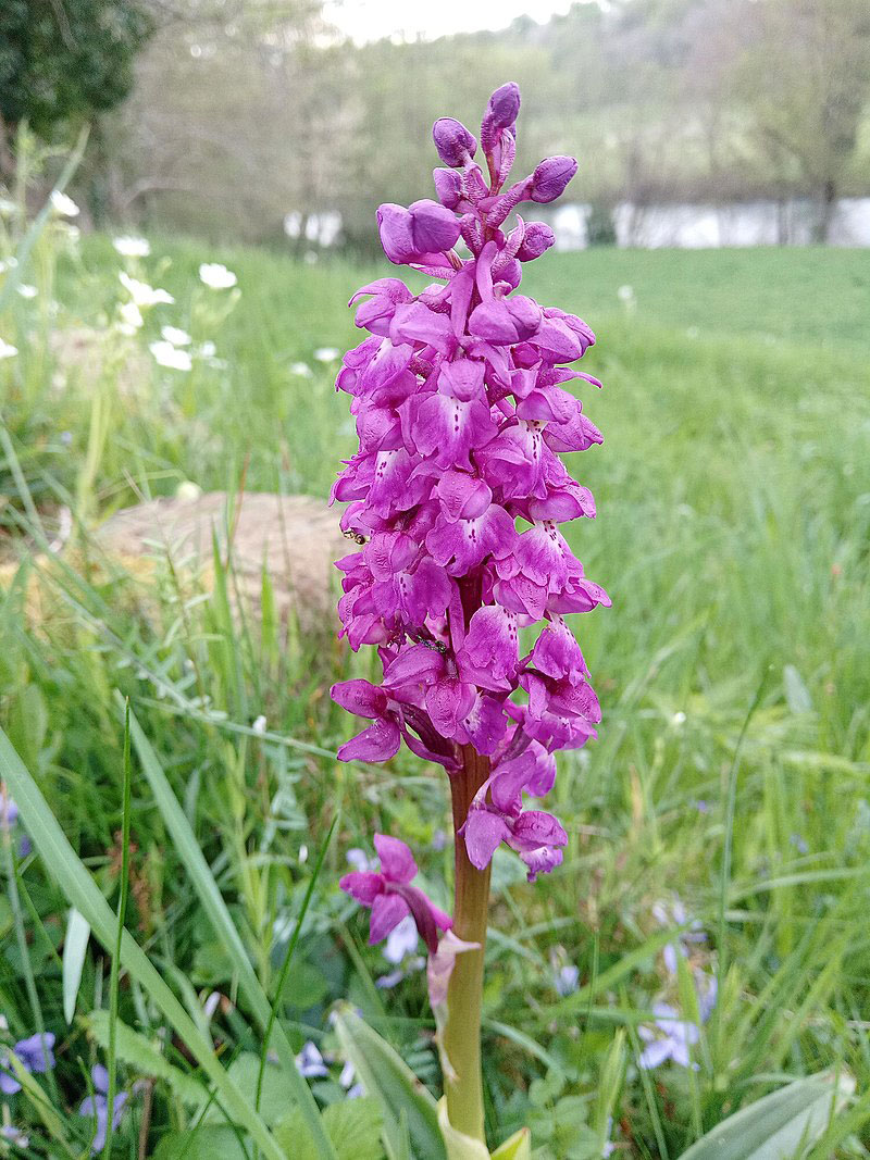 Flower-of-Early-purple-orchid