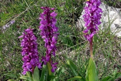 Early-purple-orchid-plant