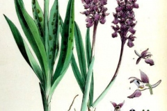 Plant-illustration-of-Early-purple-orchid