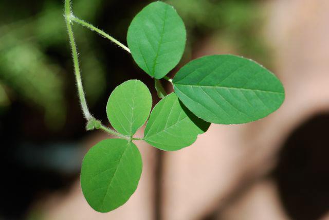 Leaves-of-Edamame