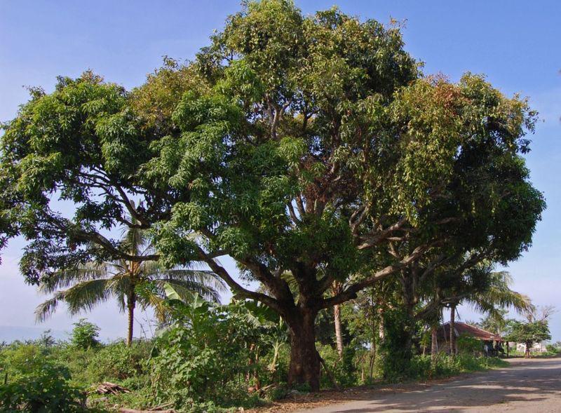 Egg-Mango Tree