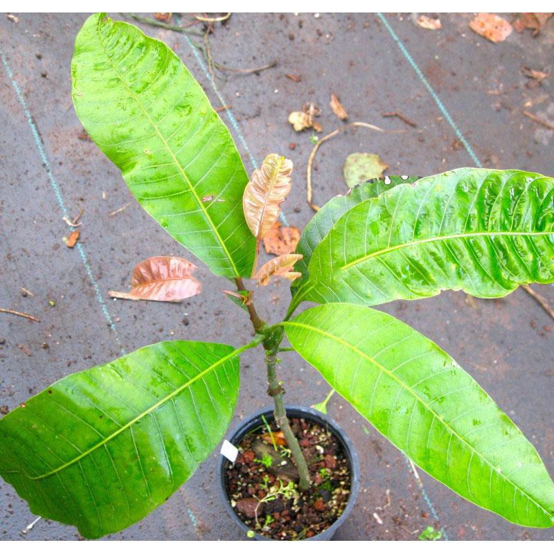 Small-Egg-Mango-plant