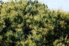 Egg-Mango-tree-during-flowering