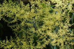 Flowers-of-Egg-Mango-tree