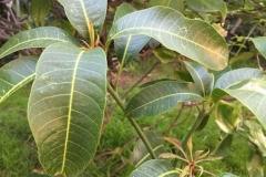 Leaves-of-Egg-Mango