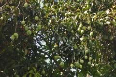 Unripe-Egg-Mango-fruits-on-the-tree