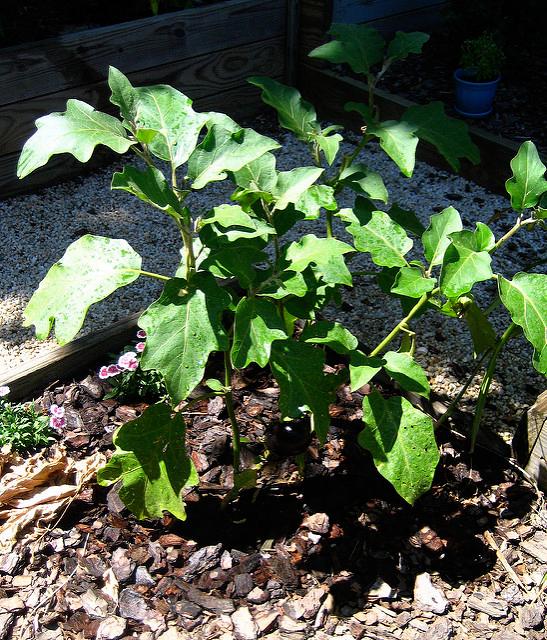 Plant-of-Eggplant