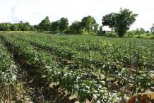 Eggplant-farm