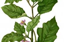 Illustration-of-Eggplant
