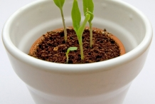 Seedlings-of-Eggplant