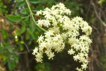 Close-up-flower-of-Elderberry