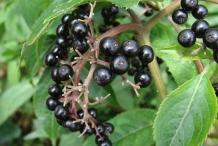 Elderberry-fruit
