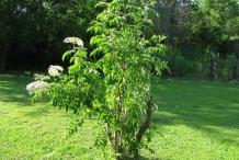 Elderberry-tree