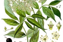 Illustration-of-Elderberry