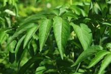 Leaves-of-Elderberrry