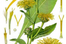 Elecampane-plant-Illustration