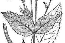 Elecampane-plant-Sketch