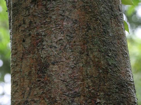 Bark-of-Elephant-Apple
