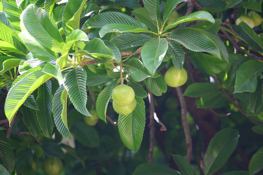 Elephant-Apple-Fruit-on-the-plant