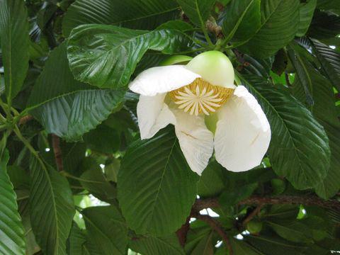 Flower-of-Elephant-Apple