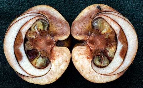Half-cut-Elephant-Apple