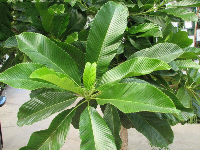 Leaves-of-Elephant-Apple-Plant