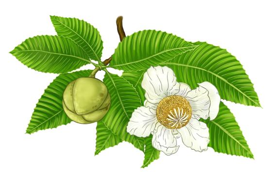 Plant-Illustrations-of-Elephant-Apple