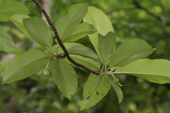 Underside-of-the-leaves-with-buds