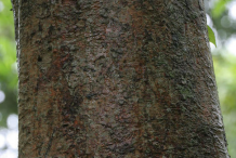 Bark-of-Elephant-Apple