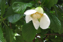 Flower-of-Elephant-Apple