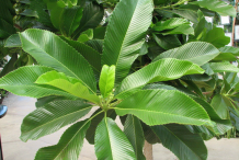 Leaves-of-Elephant-Apple-Plant