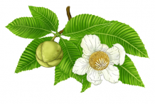 Plant-Illustrations-of-Elephant-Apple