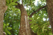 Trunk-of-Elephant-Apple