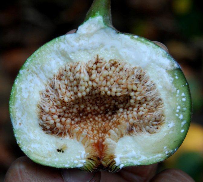 Half-cut-Elephant-Ear-Fig-fruit-showing-seeds