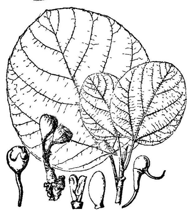 Sketch-of-Elephant-Ear-Fig