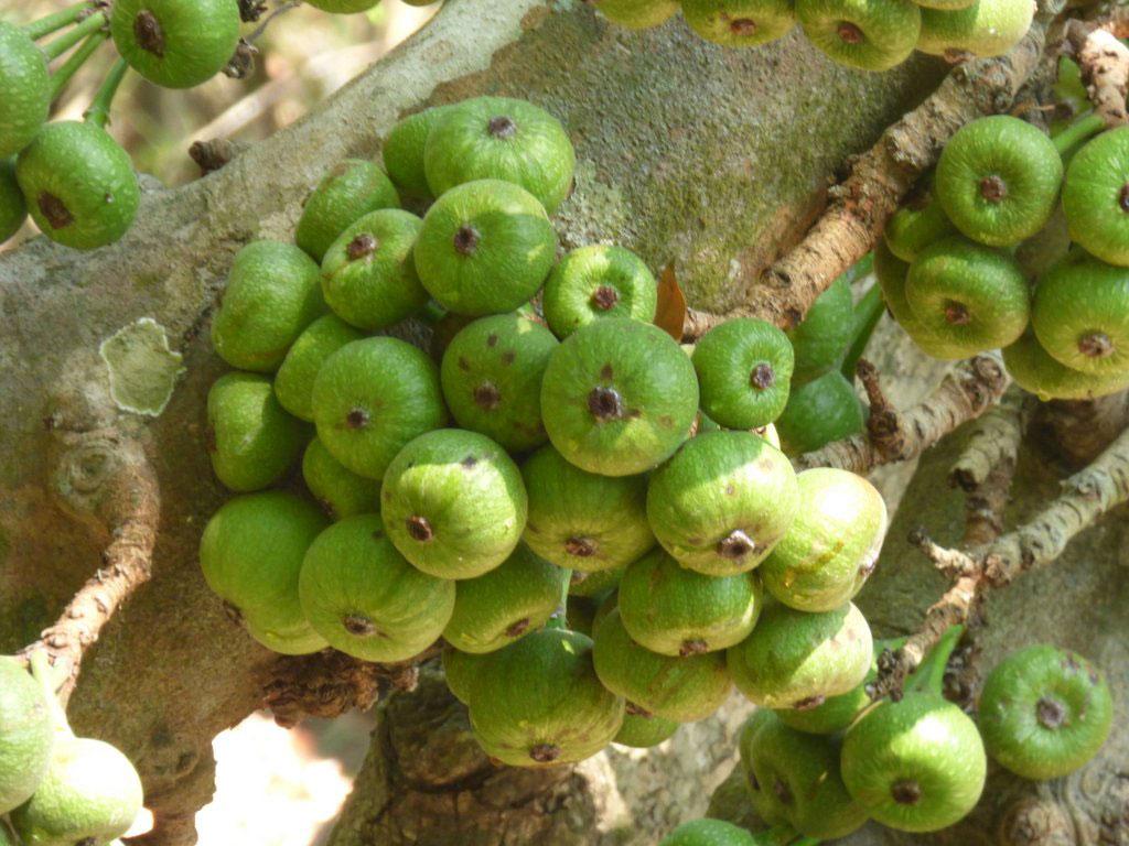 Unripe-fruits-of-Elephant-Ear-Fig