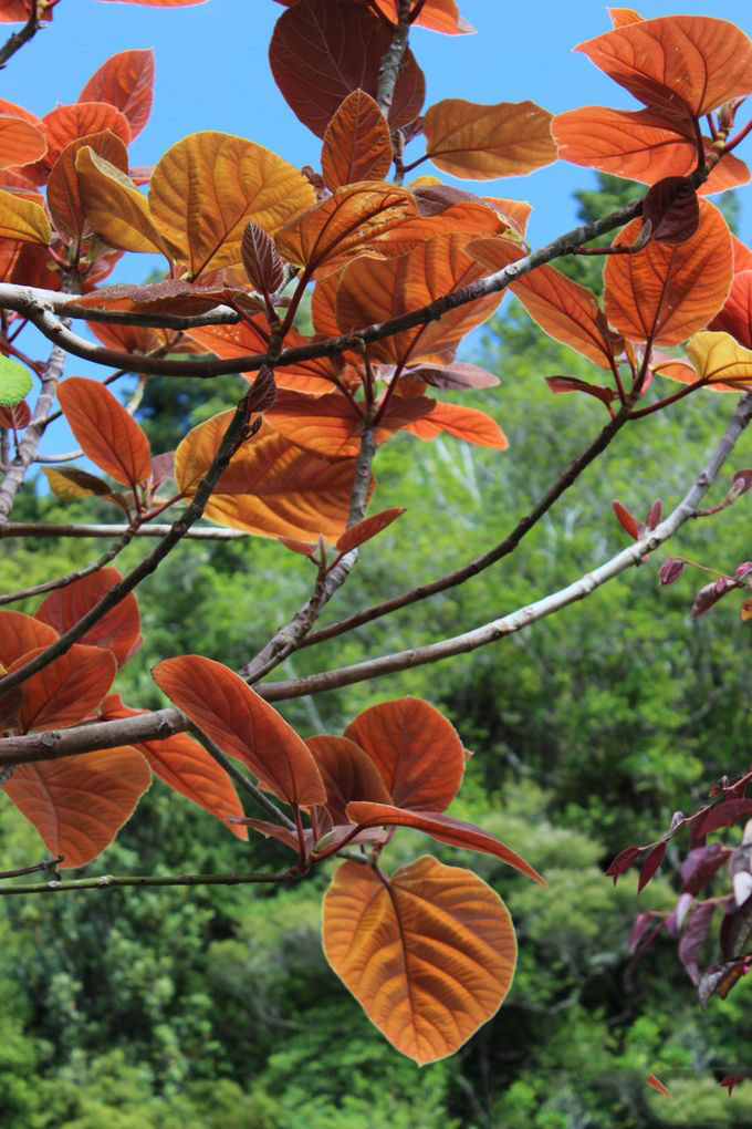 Young-leaves-of-Elephant-Ear-Fig