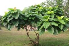 Elephant-Ear-Fig-tree