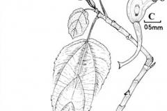 Plant-illustration-of-Elephant-Ear-Fig