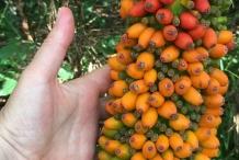 Fruit-of-Elephant-Yam