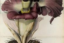 Plant-Illustration-of-Elephant-Yam