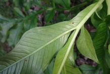 Ventral-view-of-leaves-of-Elephant-Yam