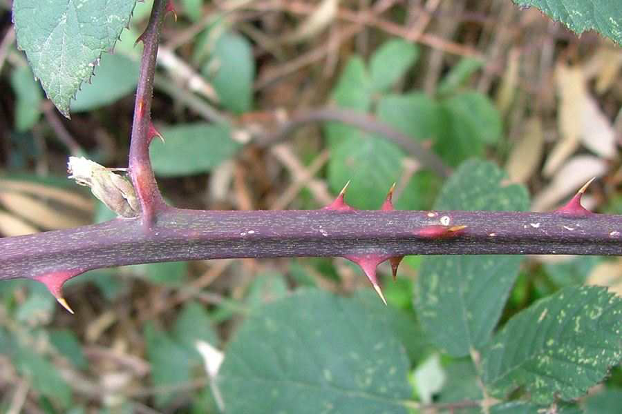Elm-leaf-blackberry-Stem-with-thorn